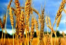 +43% — рост цены на пшеницу в Республике Молдова с февраля 2012 по февраль 2013 гг.