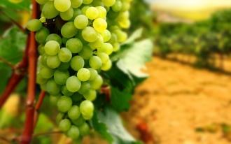 4000 гектаров может превысить площадь заложенных в РМ новых садов и виноградников